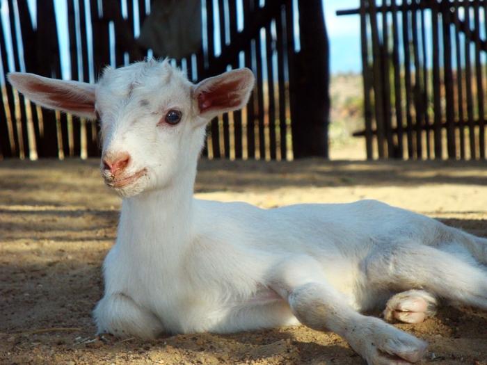 White baby goat at the Tatacoa desert. Huila, Colombia