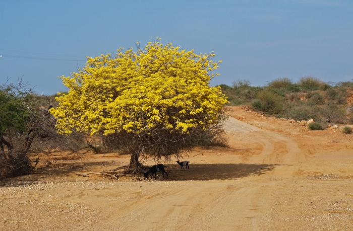 Yellow tree on the side of road. La Guajira, Colombia