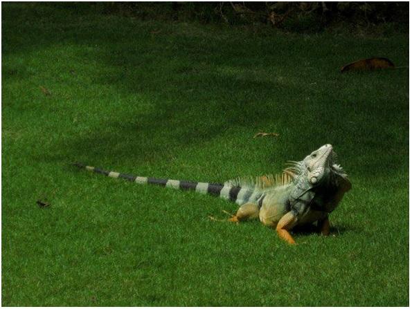 Iguanas on the Universidad del Norte campus in Barranquilla