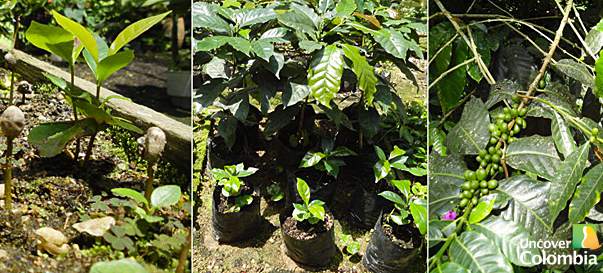 Coffee planting process