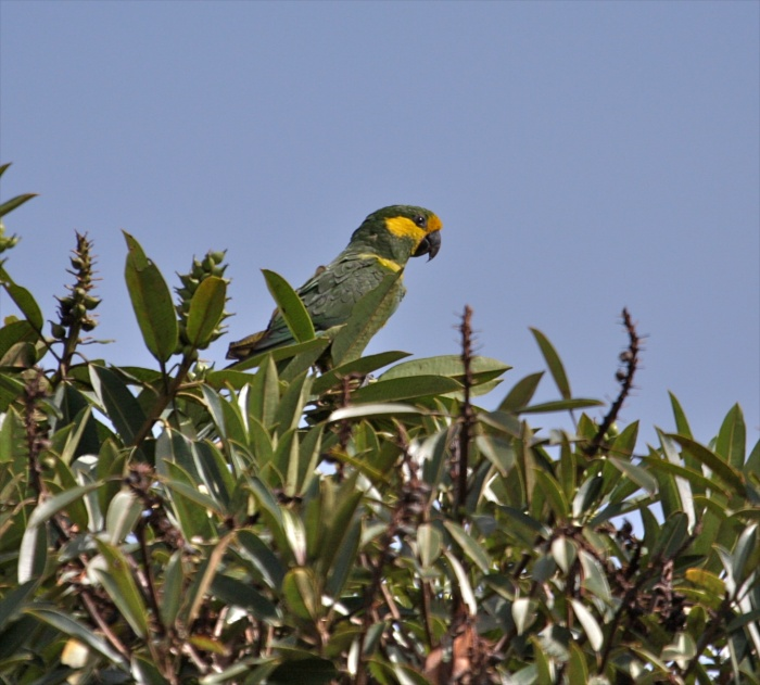 The Yellow-eared Parrot (Ognorhynchus icteroits)