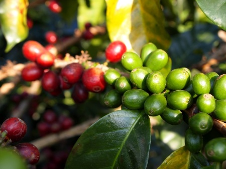 Green and Ripe Coffee Cherries
