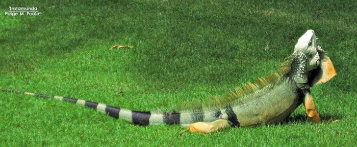 Iguana in Barranquilla